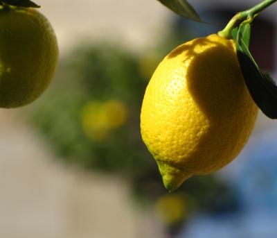 2 Zitronen am Baum