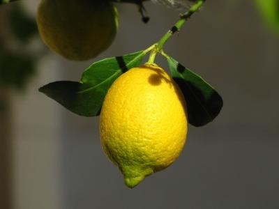Zitrone am Baum