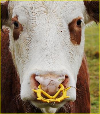 Piercing für die Kuh!