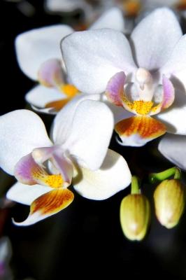 Orchide I