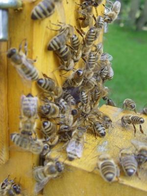 Bienen  [Apis Mellifera Hymenoptera] -