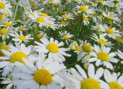 Geruchlose Kamille - oder einfach auch Sommer!!!