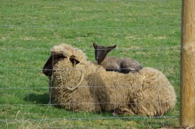 Schaf mit Lamm