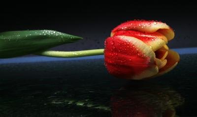 Einzel-Tulpe liegend