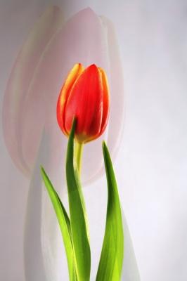 Tulpen-Solo 2