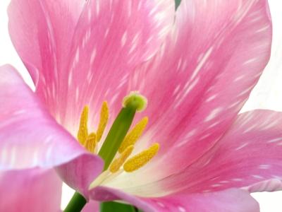 Frühlingszeit - Tulpenzeit