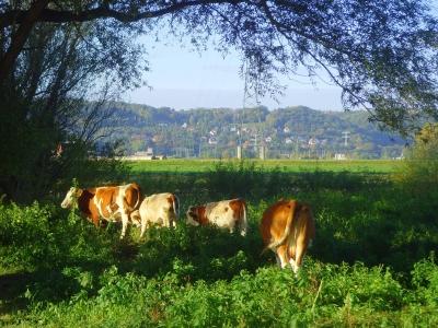 Rinderidylle auf den Elbwiesen