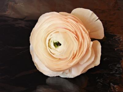ranunkelblüte