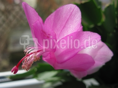 Zygokaktusblüte (Makro)