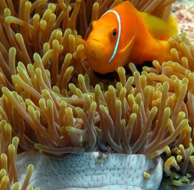 Maledivenanemonenfisch