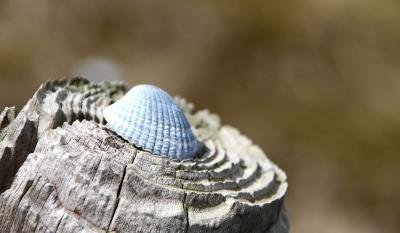 Hellblaue Muschel auf Holzpfahl