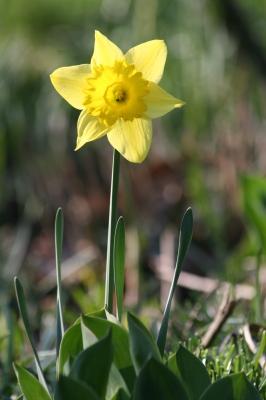 Gelbe Narzisse.jpg