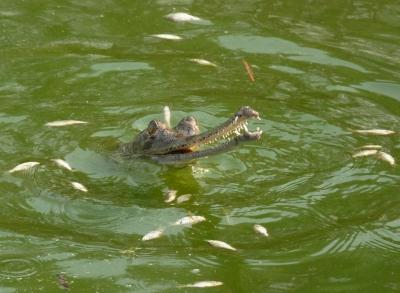 Gaviale fressen Fische