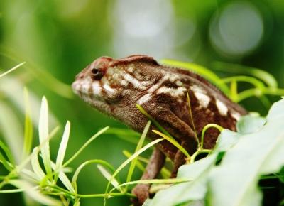 Pantherchamäleon Weibchen 1