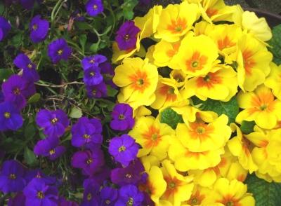 Kontrast - gelbe und blaue Blüten