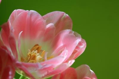 zartrosa Tulpen mit Blütenstempel