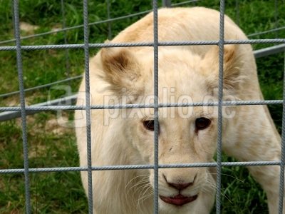 Hinter Gitter: Kein Schmusetier