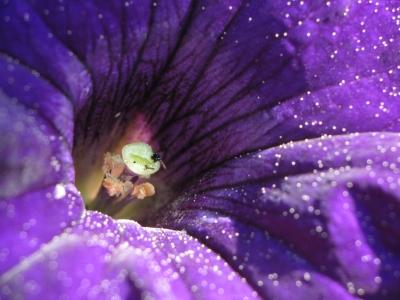Petunie violett
