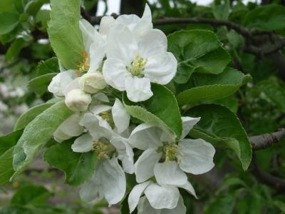Apfelbaumblüten_1