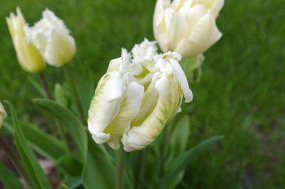 Tulpe im Abendwind