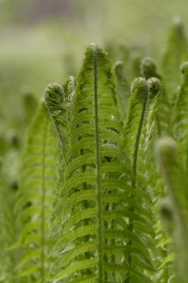 Junge Farnblätter