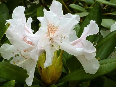 weiße Azaleenblüte