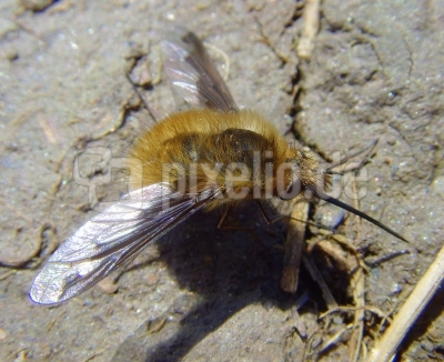 Wollschweber [Bombylius major]