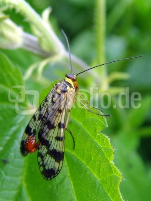 Skorpionsfliege Panorpa communis [Männchen]