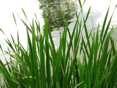 Grün am Teich