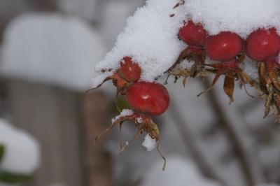 Hagebutte mit Schneemütze