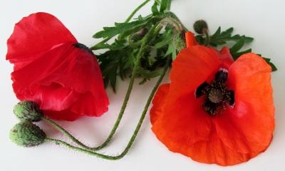 Mohn-Blüten - hell- und dunkelrot