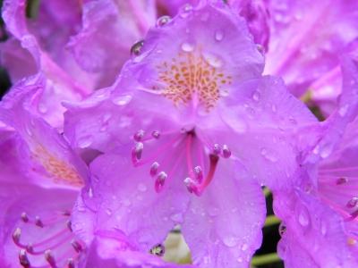 Rhododendronblüte 2