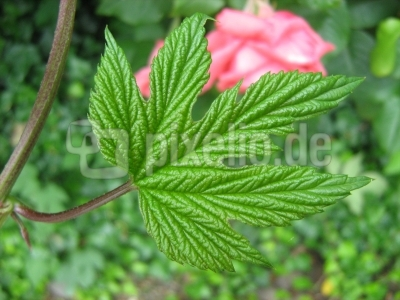 Junges Rosenblatt
