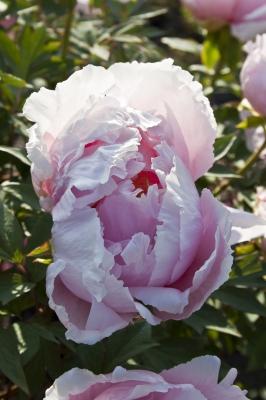 Päonienblüte #3