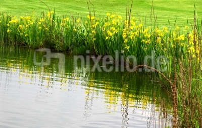Gelbe Lilien am Teich