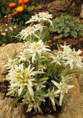 Edelweiß  -  Blumen der Berge