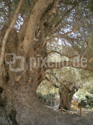 3200 Jahre alter Olivenbaum