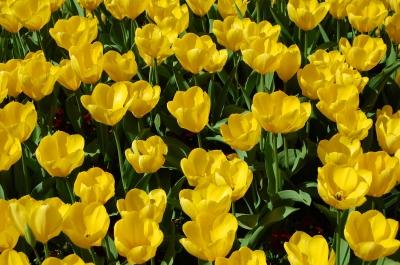 Tulpen Textur in gelb