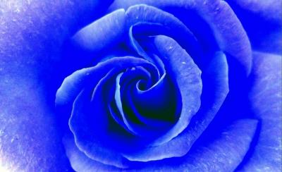 rose in blau