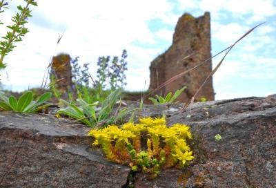 Mauerpfeffer auf der Burgruine Monfort