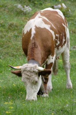Eine Kuh macht Muh viele Kühe machen Mühe......