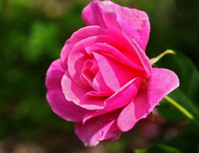 sonnige Rose