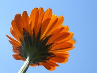 ringelblume im gegenlicht