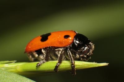 Ameisen-Sackkäfer