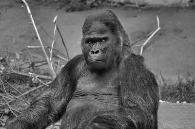 King Kong's Nachfahre