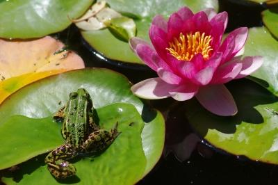 Frosch mit Teichrose