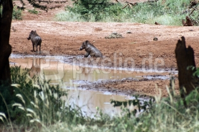 Badezeit für Warzenschweine