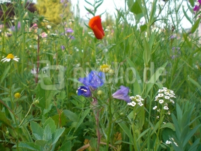 Blumenwiese - Mössinger Sommer