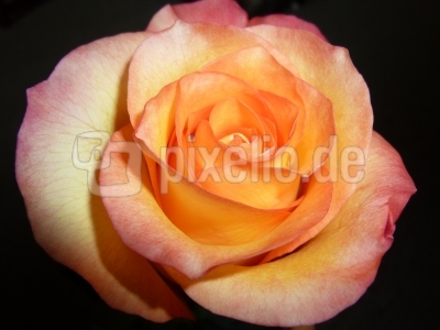 Rosenschönheit