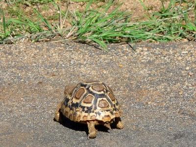 Leopard-Schildkröte überquert die Strasse